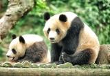 A Pair of Panda Bear
