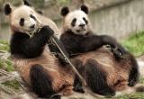 Sitting pair of pandas