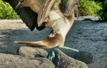 A landing blue footed booby