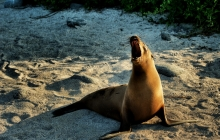 A roaring sea lion at sundown