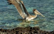 Pelican is landing