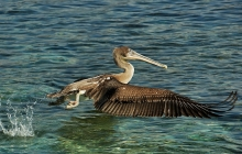 The landing of a pelican