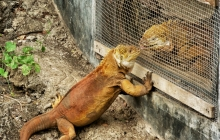 A pair of iguanas before mating