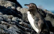 A Penguin in Floreana Island