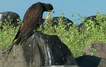 Galapagos hawk scratching