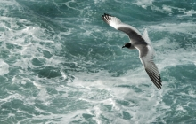 A flying gull