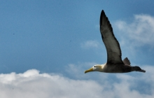 Albatross in the skies