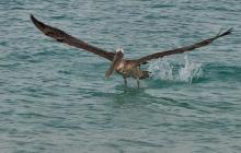A landing pelican