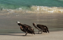 Two pelicans on the beach