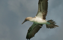 A Flying Blue Footed Booby