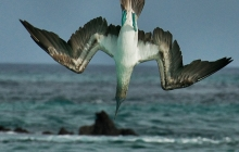 A diving blue footed booby