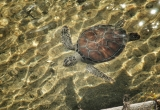 Sea turtle in Conch Farm