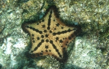 A yellow sea star