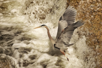 18 Great Blue Heron taking off