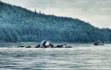 A whale Party in Juneau