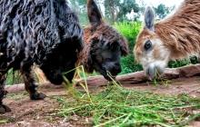 At the Alpaca Farm