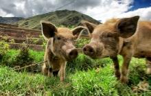 Wild Piggies
