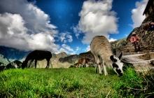 Wild Alpaca in MachuPicchu
