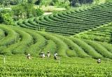 36 Women work at tea plantation_DSC3219