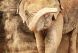42 Elephant dusting himself, Chang Rai_DSC3546