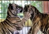 58 Playful smallest tigers DSC3910