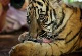 60 smallest tiger DSC3892