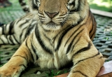 65 Protrait of a tiger DSC4045