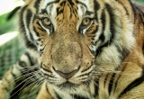 66 Protrait of a tiger DSC4054