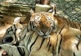 67 Cuddling Tigers DSC4069