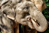 71 Elephant eating sugar cane DSC4109
