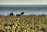 69 Organic farmers_in Santorini DSC8973