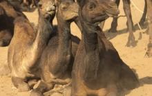 15 pushkar camel fair 2015-11-19 DSC1009